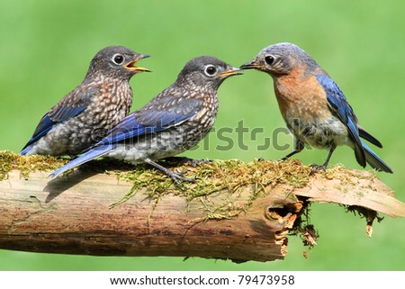 Female Eastern Bluebird (Sialia sialis) with her hungry babies - stock photo