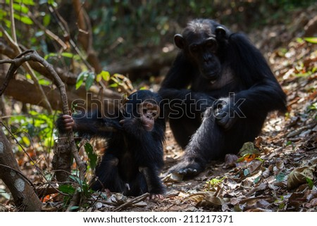 Female Eastern chimpanzee with her young infant in natural habitat - stock photo