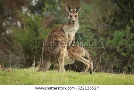 Female Eastern Grey kangaroo (Macropus giganteus) with joey climbing into her pouch.  - stock photo