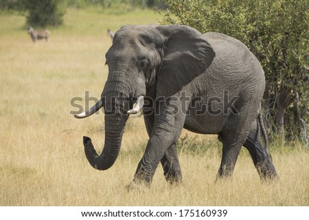 Female elephant in South Africa's Mala Mala Game Reserve - stock photo
