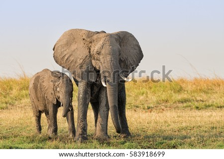 Female elephant (Loxodonta africana) with calf covered with dry mud in late afternoon on the Chobe river bank in Namibia