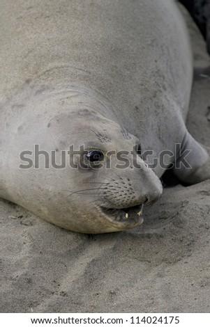 Female Elephant Seal on San Simeon Beach - stock photo