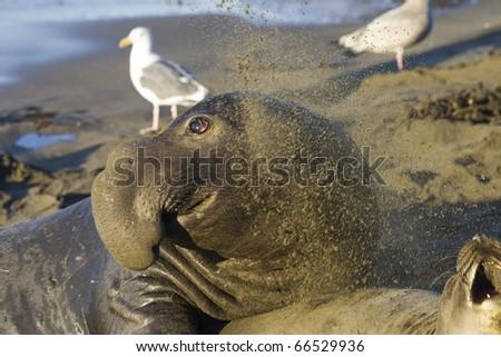 Female Elephant Seal throws sand at a Bull on San Simeon Beach - stock photo