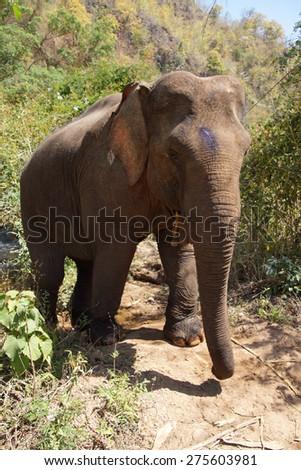 Female elephant walking to the stream for her daily bath,  Myanmar (Burma) - stock photo