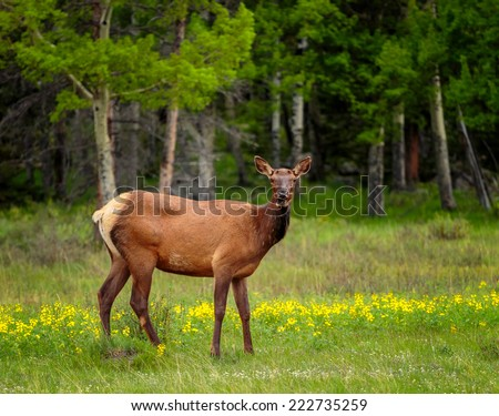 Female Elk in the meadows, yellow followers and lush greens looking at the camera