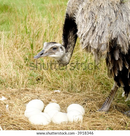 Female Emu in front of a white background - stock photo