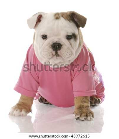 female english bulldog puppy dressed in pink shirt on white background