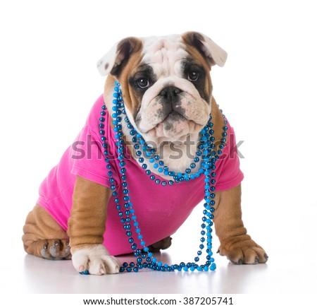 female english bulldog puppy sitting on white background - stock photo