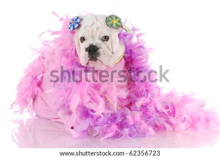 female english bulldog puppy wrapped up in pink with reflection on white background - stock photo