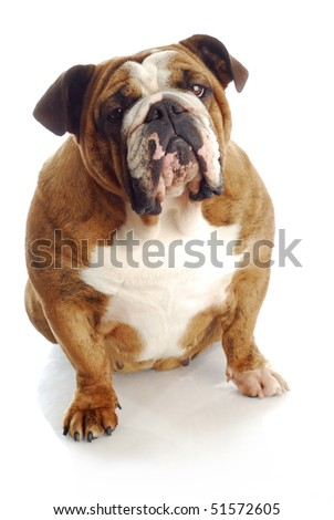 female english bulldog sitting down with reflection on white background - stock photo