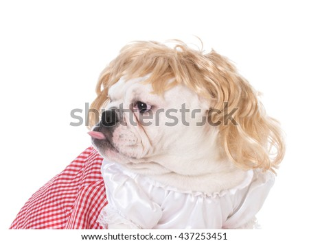 female english bulldog sitting looking to the side