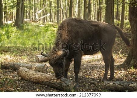 Female European bison (Bison bonasus), Prioksky-terraced reservation, Russia - stock photo