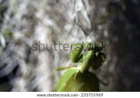 Female European Mantis or Mantis religiosa - stock photo
