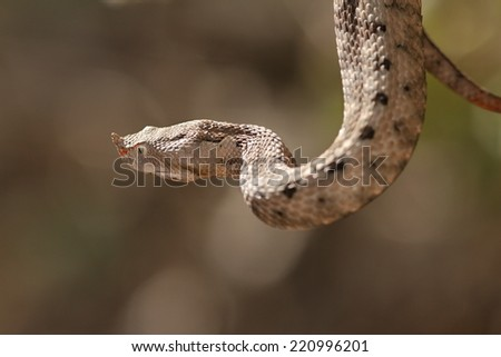 female european sand viper ( Vipera ammodytes ) over out of focus background, detail on head and horn