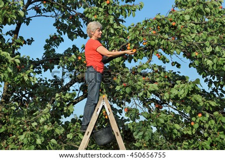 Female farmer at ladder picking apricot fruit from tree in orchard - stock photo
