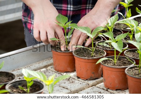 Female farmer taking care of young sprouts in greenhouse