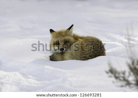 Female Fox in the Snow - stock photo