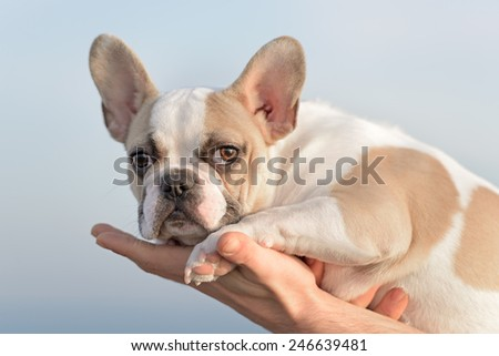 Female french bulldog puppy playing at the beach  - stock photo