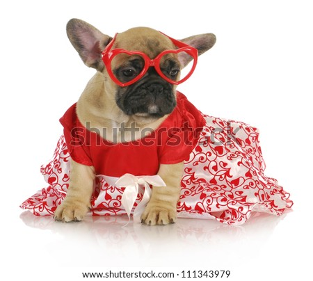 female french bulldog wearing heart glasses and red party dress - 8 weeks old - stock photo