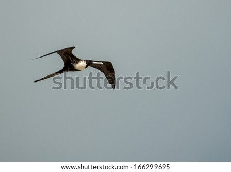 female frigate bird 2