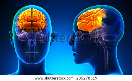 Female Frontal Lobe Brain Anatomy - blue concept - stock photo