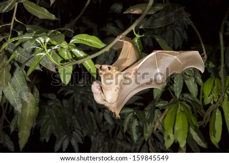 Female Gambian epauletted fruit bat (Epomophorus gambianus) flying with a baby on her belly. - stock photo