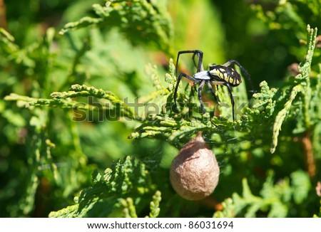 Spiderling stock images royalty free images vectors shutterstock for Garden spider egg sac