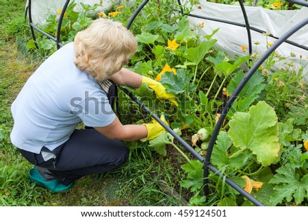 Female gardener in yellow rubber gloves cutting with scissors stems of the zucchini in greenhouse