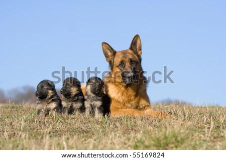 Female German Shepherd dog with three puppies - stock photo