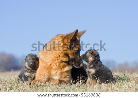 Female German Shepherd dog with two puppies - stock photo