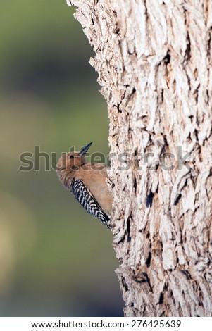 Female Gila Woodpecker in southern Arizona - stock photo