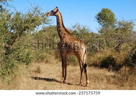 Female Giraffe in Africa - stock photo