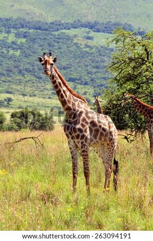 Female Giraffe in South Africa - stock photo