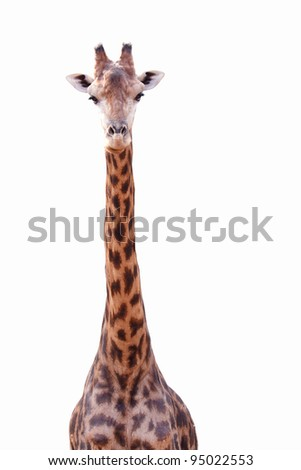 Female giraffe isolated on white background