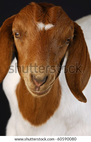 female goat doeling portrait on black background - purebred south african boer