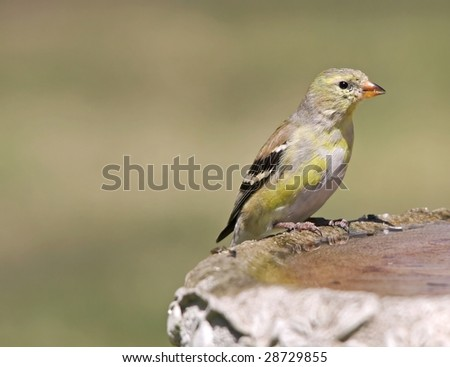 Female Goldfinch - stock photo