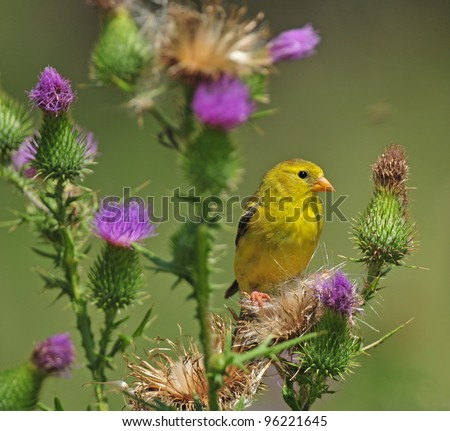 Female goldfinch perched on bull thistle plant with purple flowers - stock photo