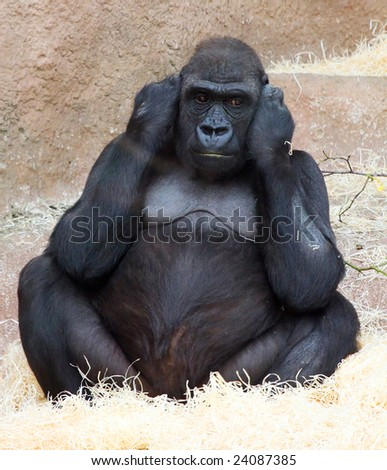 Female gorilla in ZOO Prague - Czech Republic Europe - stock photo