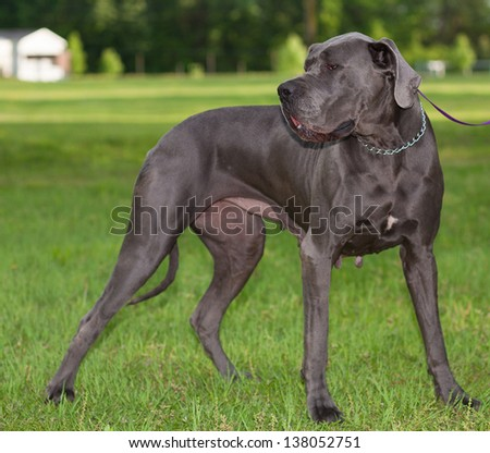 Female great Dane that is standing on a green field - stock photo