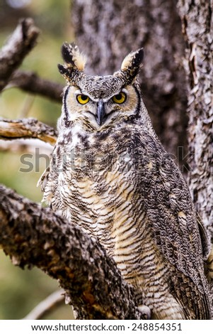 Female Great Horned Owl perched in tree on winter morning - stock photo
