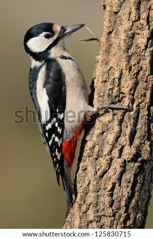 Female Great spotted woodpecker (Dendrocopos major) - stock photo