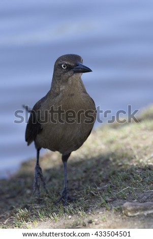 Female Great-tailed Grackle - stock photo
