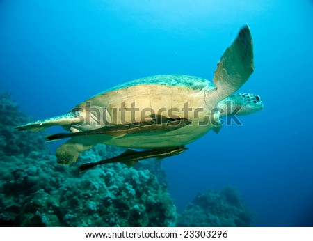 female green turtle (chelonia mydas)