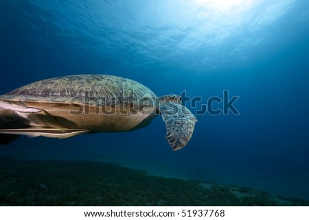 female green turtle swimming in  the Red Sea.