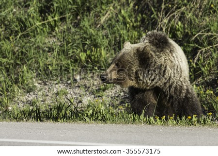 Female Grizzly Bear Along Highway - stock photo
