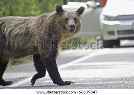 Female Grizzly bear emerges onto a highway - stock photo