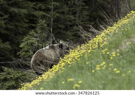 Female Grizzly Bear Feeding on Dandelions  - stock photo