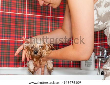 Female groomer wash Yorkshire Terrier - stock photo