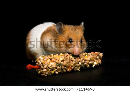 Female hamster with full cheeks, eating her favourite treat bar. Black background.