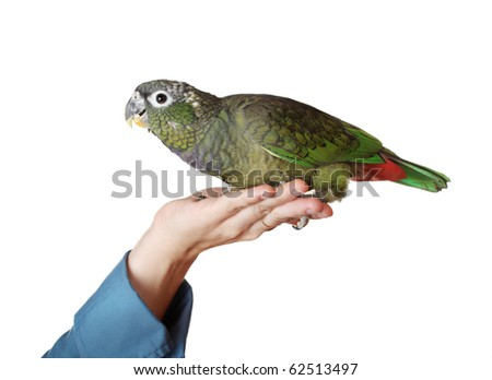 female hand holding a tamed green pionus parrot, white background - stock photo